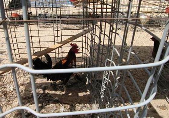 Cockfighting-raid-Littlerock-8.22.2013-2